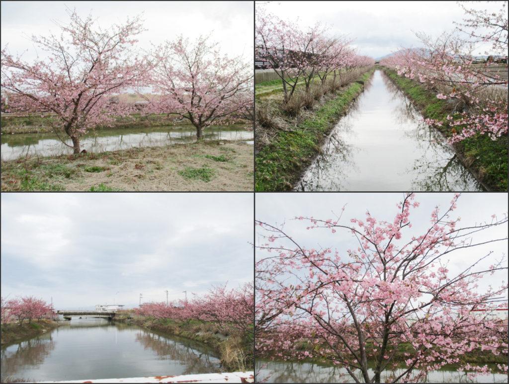 太田川地域保全協議会の河津桜