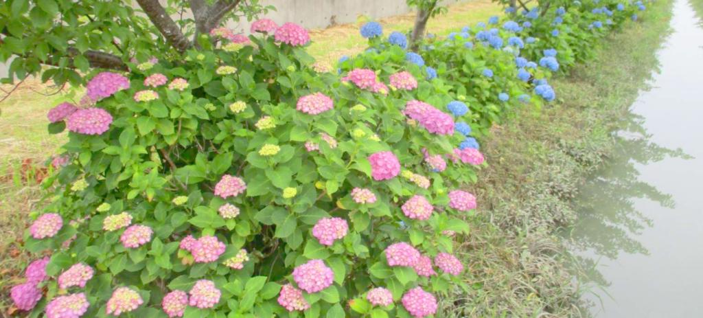 アジサイ:太田川地域保全協議会